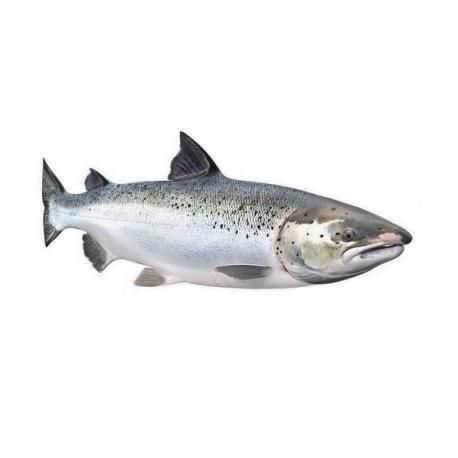 ماهی قزل الا پرورشی زنده | جی شاپ
