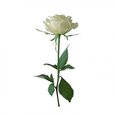 گل رز سفید 1 شاخه | جی شاپ
