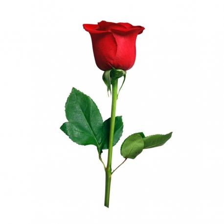 گل رز قرمز 1 شاخه | جی شاپ