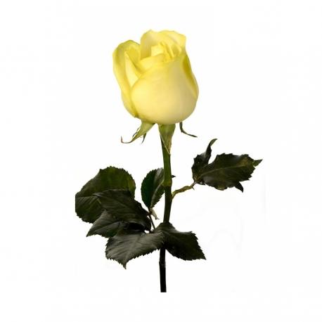 گل رز زرد 1 شاخه | جی شاپ