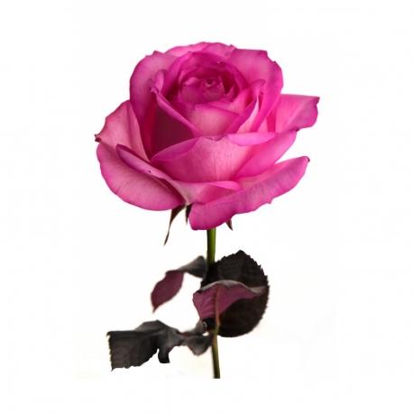 گل رز صورتی 1 شاخه | جی شاپ