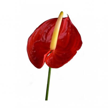 گل آنتوریوم 1 شاخه | جی شاپ