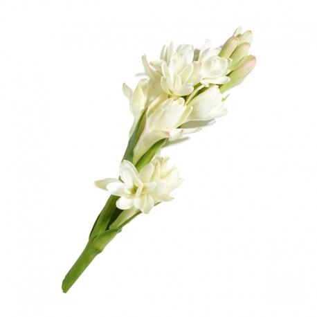 گل مریم 1 شاخه | جی شاپ