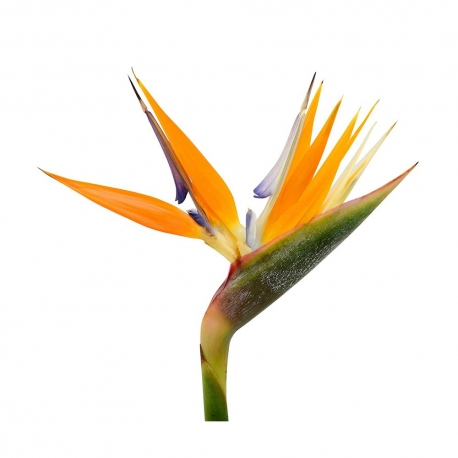 گل استرلیتزیا 1 شاخه | جی شاپ