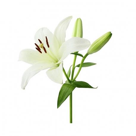 گل لیلیوم سفید 1 شاخه | جی شاپ
