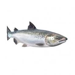ماهی قزل الا پرورشی تازه کیلویی
