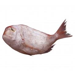 ماهی شانک تازه کیلویی