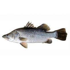 ماهی سی باس تازه کیلویی