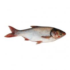ماهی آزاد تازه کیلویی
