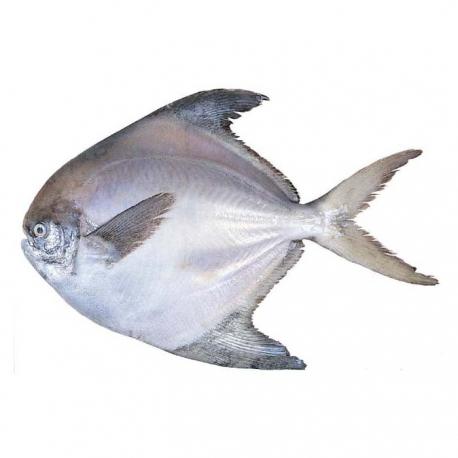 ماهی حلوا سیاه کیلویی | جی شاپ