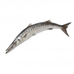 ماهی شیر نیزه دم سبز کوتر تازه کیلویی