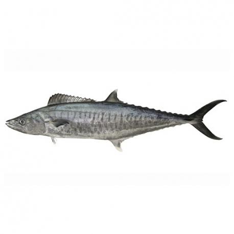 ماهی شیر قلاب کیلویی   جی شاپ