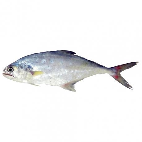 ماهی سارم تازه کیلویی   جی شاپ