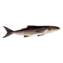 ماهی سه کله سکن تازه کیلویی