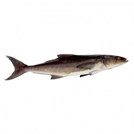 ماهی سه کله سکن تازه کیلویی   جی شاپ