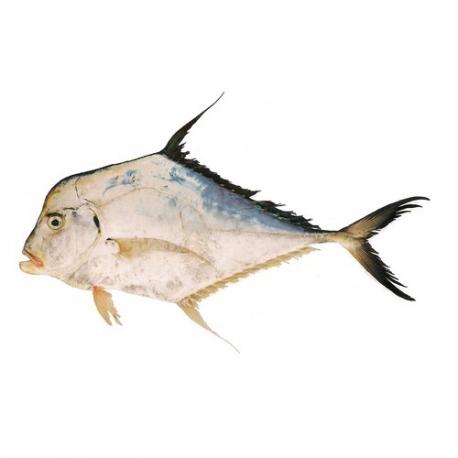 ماهی حلوا قاضی مقوا تازه کیلویی | جی شاپ