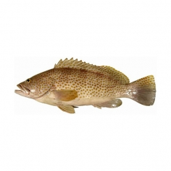ماهی هامور سفید تازه کیلویی