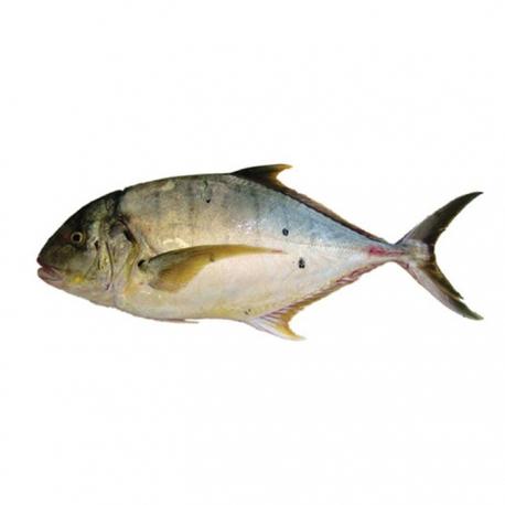 ماهی حلوا گیش تازه کیلویی   جی شاپ