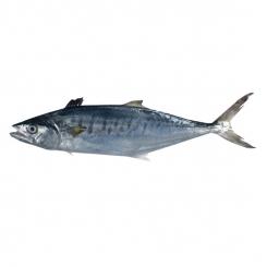 ماهی قباد تازه کیلویی
