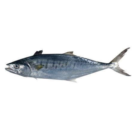 ماهی قباد تازه کیلویی | جی شاپ